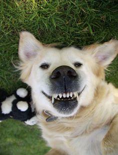 Golden Retriever Husky Mix Breeders My dog Golden Husky Mix, Cutest Dog Ever, Cute Dogs, Laughter, Corgi, Creatures, Smile, Pets, Friends
