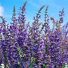BLUE CLOUD  Salvia Seeds    Salvia transsylvanica    A hardy, heavy blooming first year flowering 3 foot tall perennial which freely produces tremendous spikes of non-fading sky-blue flowers from June to September. They are excellent for cutting. The widely adapted plants need plenty of sun and little water once established. Winter hardy to zone 3.