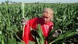 the horrible first job of many Iowa teens: detasseling corn