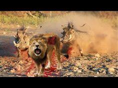 MOST AMAZING WILD ANIMAL ATTACK - Lion vs Warthog