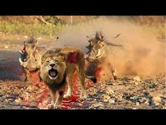 MOST AMAZING WILD ANIMAL ATTACK - Lion vs Warthog