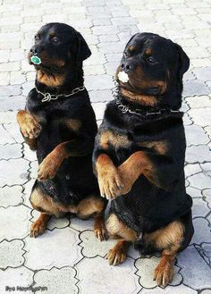 Aww... These #Rotts are super adorable ♥