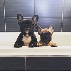 The major breeds of bulldogs are English bulldog, American bulldog, and French bulldog. The bulldog has a broad shoulder which matches with the head. French Bulldog Drawing, Blue French Bulldog Puppies, French Bulldog Breed, Bulldog Puppies For Sale, Cute French Bulldog, Pug Puppies, French Bulldogs, I Love Dogs, Cute Dogs