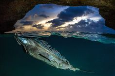 Unexpected Underwater Encounter With A Green Iguana