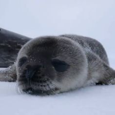 Baby seal gets first boop ever - animals - tierbabys Cute Little Animals, Cute Funny Animals, Cute Puppies, Cute Dogs, Baby Seal, Tier Fotos, Cute Creatures, Cute Kittens, My Animal