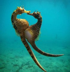 A deep sea diver captured an image of the exact time a female seahorse transfers her eggs to a male to carry to term (credit: onebreathdiver) Fast Crazy Nature Deals. Underwater Creatures, Ocean Creatures, Beautiful Sea Creatures, Animals Beautiful, Especie Animal, Sea Dragon, Wale, Tier Fotos, Sea World
