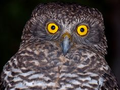 Powerful Owl (Ninox strenua) Close-up. Photo by Richard Jackson.