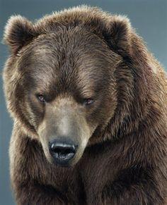 Portraits of bears by Jill Greenberg - Heavy Thinker II.