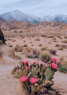 flores do deserto - the cactus and its flowers
