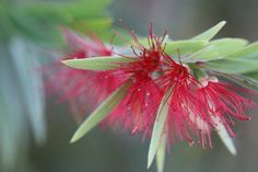 Bottle Brush Flower by Pieter Oosthuysen, via