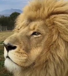 King Smokey with his massive mane looks a little sleepy. Until something catches his attention! Lioness maybe? 👀 So majestic even as he 😴 Harrismith, South Africa. Video by Source Lion Pictures, Nature Pictures, Cut Animals, Animals And Pets, Lion Species, Paws And Claws, African Safari, Wildlife Photography, Canon Photography