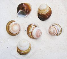 Land Snail Philippines  12515 2 pcs by BeachCottageBoutique, $3.95