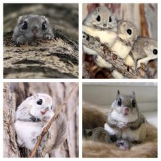 The Momonga or Japanese Dwarf Flying Squirrels are so adorable! http://ift.tt/2ij73DJ