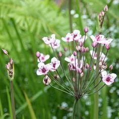 BUTOMUS UMBELLATUS (Flowering Rush - British Native) with bud