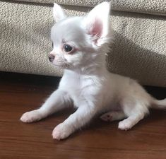 Chihuahua Puppies for Rehoming WhatsApp - Pets Rehoming, Sharjah City Teacup Chihuahua Puppies, Cute Dogs And Puppies, Baby Dogs, White Chihuahua, Doggies, Teacup Pomeranian, Cute Funny Animals, Cute Baby Animals, Chihuahua Dogs