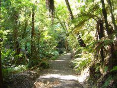 Pathway in New Zealand. looks like on the way to Franz Josef glacier Franz Josef Glacier, Tree Fern, Grasses, Homeland, Pathways, Ferns, Kiwi, New Zealand, Country Roads