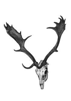 Jasmin Ekström      Stag skull pencil drawing