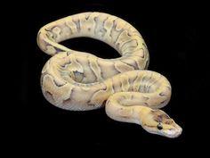 champagne enchi ball python