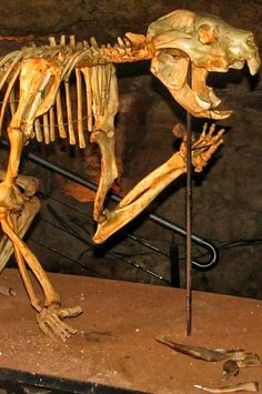 """Thylacoleo carnifex (""""pouch lion"""") is anextinctgenusof carnivorousmarsupialsthat lived inAustraliafrom the latePlioceneto the latePleistocene(2 million to 46 thousand years ago). Some of these """"marsupial lions"""" were the largestmammalianpredators in Australia of that time, withThylacoleo carnifexapproaching the weight of a smalllion. The estimated average weight for the species ranges from 101 to 130kg"""