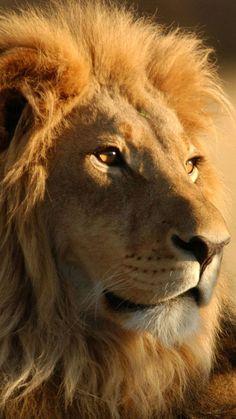 Lion Mobile Background…