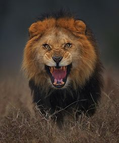 Pakistan - Lion Photograph angry king.. by Atif Saeed on 500px