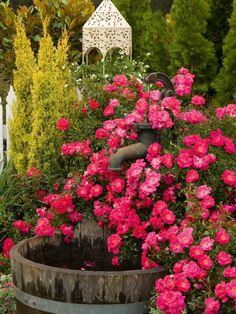 Flower Carpet Groundcover Rose