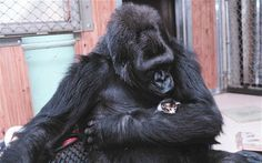 "Koko is a gorilla who can use more than 1,000 words in American sign language and understands 2,000 words in spoken English. To teach her, researchers read ""The Three Little Kittens"" and ""Puss 'n' Boots"" to the primate. Since then, Koko has been infatuated by felines, at one point she even asked for one as a christmas present. While nursing cats, Koko has been known to sign ""Soft. Good. Cat."""