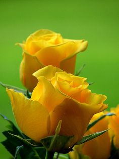 KT has started giving me a yellow rose bush for every special occasion. That way the roses will last forever just like us
