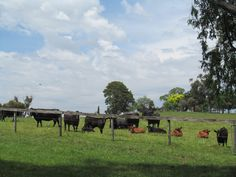 Day 314 ... Old Henry's cows. Belgrave South.