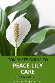 How to help your Peace lily thrive year after year. I cover all aspects of Peace Lily care in this article, as well as covering how to spot and fix the common problems. Indoor Flowering Plants, Blooming Plants, Peace Lily Care, Peace Lily Plant, Kitchen Plants, Smart Garden, Lily Bloom, Plant Guide, House Plant Care