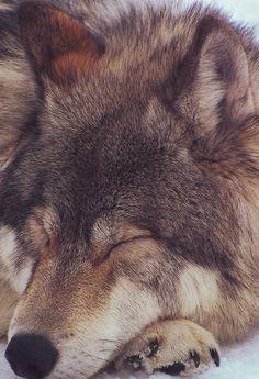 lobo | Tumblr