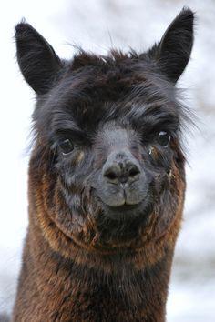 Hahahahaha creeepy  -  Smiling Alpaca by Josef Gelernter, via 500px Unique Animals, Cute Animals, Beautiful Creatures, Animals Beautiful, Farm Animals, Animals And Pets, Lama Animal, Mon Zoo, Reptiles