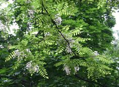 It's that brief period when the Black Locust (or False Acacia) bursts into flower, and this unelegant and rather shapeless tree is suddenly strikingly beautiful - and fragrant. Those pea-like flowers, hanging down in long loose racemes, are described in botanical terms as 'papilionaceous' - yes, butterfly-shaped - no wonder I like them so much. POSTED BY NIGE   Nigeness: May 2010