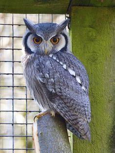 | White Faced Scops Owl