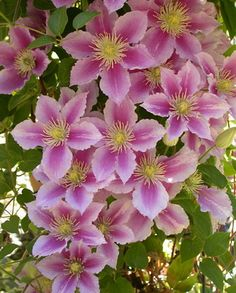 I just love Clematis vines. Such big, beautiful, showy, flowers in so many colors =]