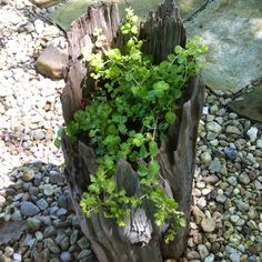 Driftwood planter - also loving the textures of the wood, pebbles & stone