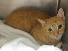 SUNSHINE - A1093150 - - Manhattan  ***TO BE DESTROYED 10/15/16***Add some SUNSHINE to your life!! SUNSHINE, the cat, that is! SUNSHINE is a 3 year old female tangerine colored sweetie, who was brought to the shelter with her cat friends because their owner had too many cats and the landlord made the owner give them up. Pretty little SUNSHINE is 3 years old with big eyes and a sweet nature! She is shy but lets herself be pet. SUNSHINE would make a wonderful pet in an experie