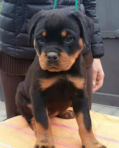 Love Rottweiler. Follow us!