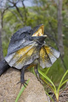 Frill-necked Lizard in defense / Australia