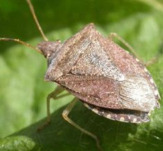 10 Strangely Popular Foods From Around The World - Stinkbugs – South Africa Stink Bugs, Fabulous Foods, Popular Recipes, Pest Control, Organic Gardening, Animals And Pets, Insects, Household, Around The Worlds