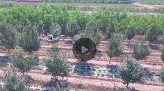 Drone spraying chemicals on peach tree_Drone spraying_Joyance Tech