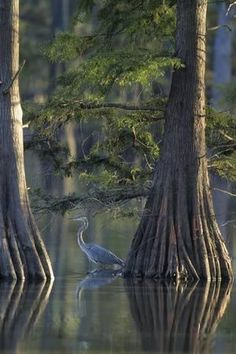 size: Photographic Print: Great Blue Heron Fishing Near Cypress Trees, Horseshoe Lake State Park, Illinois by Richard and Susan Day : Cypress Swamp, Cypress Trees, State Parks, Halloween Apothecary, Louisiana Art, Old Trees, Amazon Rainforest, Blue Heron, Kayaking