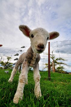 Newborn Lamb by Eddie Griffiths  Too adorable for words. What I love about sheep is how they stay this cute their whole lives!