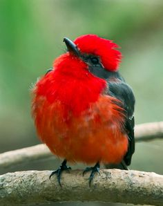 Vermillion Flycatcher a flying jewel from Brazil