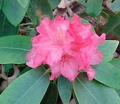 Rhododendron Hawaii Has Pink Flowers Held In A Large Truss Of 15