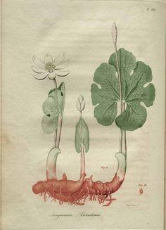 Sanguinaria Canadensis, American Medical Botany, Jacob Bigelow