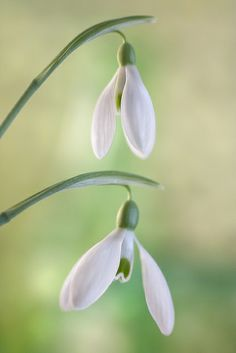 Galanthus Snowdrops - Lovely !