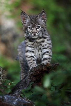 Curious bobcat cub by Megan Lorenz