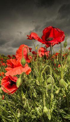 Poppies against a stormy sky by WilsonAxpe / Scott Wilson