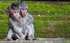 YOUNG MACAQUES IN DISBELIEF   Photograph by Chris Norfolk for National Geographic   In this candid capture by Chris Norfolk, we see two young Macaques looking on in disbelief as their mother chases away an assailant who was trying to steal their food. The photograph was taken at the Sacred Monkey Sanctuary in Ubud